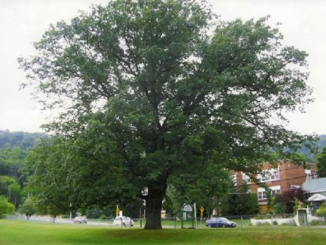 Chinquapin Oak in Fisher's Mill Park