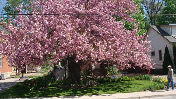 Ornamental Cherry on Victoria Street
